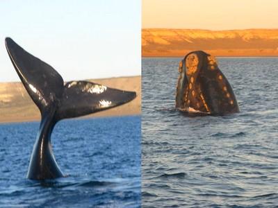 Baleines a franges